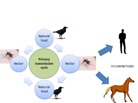 Fig 1. Example of vector borne disease transmission cycle